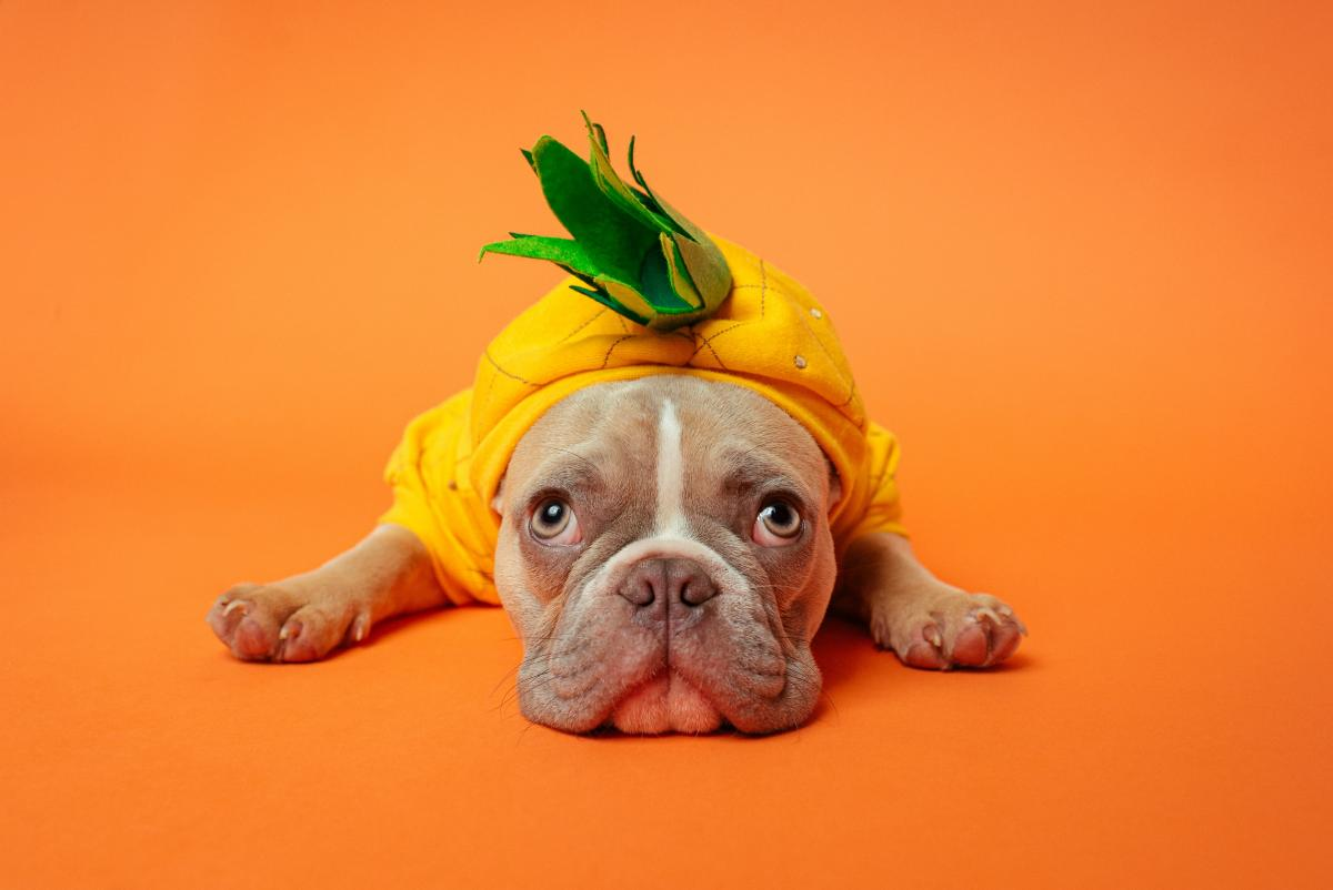 A small dog in a pineapple costume against an orange background / photo by Karsten Winegeart