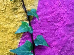 yellow and purple wall with leaves growing out of a crack