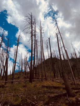 Photo of trees burned in a forest fire.