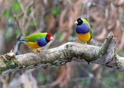 Two Gouldian finches sitting on a branch, image by David Clode