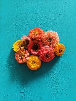 Zinnias against a teal background by Joyce McCown