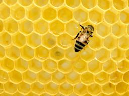 A bee on yellow honeycomb, photo by Matthe T Rader