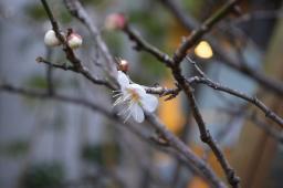 Plum Blossom at Basho Museum