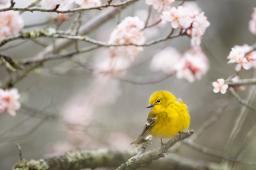 A yellow bird on a branch of pink flowers / photos by Ray Hennessy