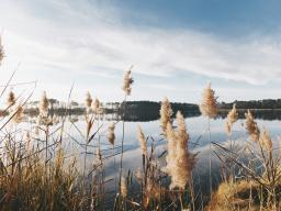 brown cattails in the foreground of a natural landscape featuring a river and rolling hills