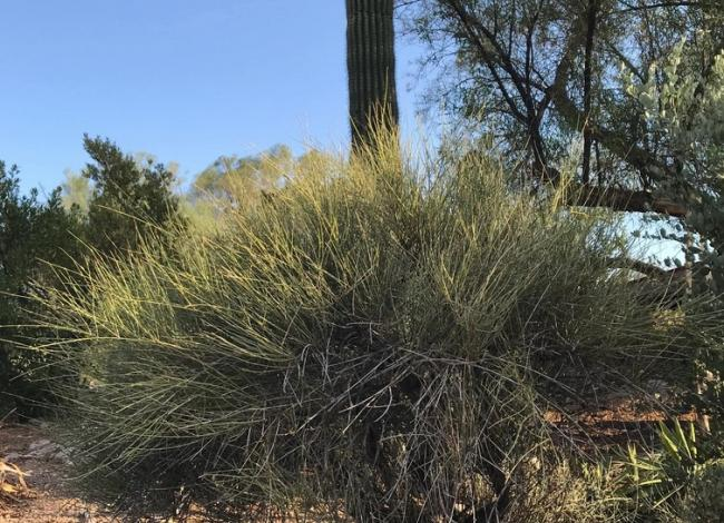 A bush of Brigham's Tea growing in a desert landscape