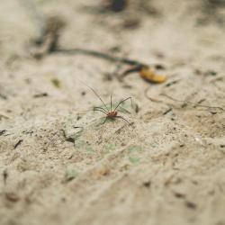 Daddy long legs spider on the dirt, photo by Ethan Unzicker