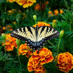 A butterfly rests on bright orange marigolds / photo by Robert Zunikoff